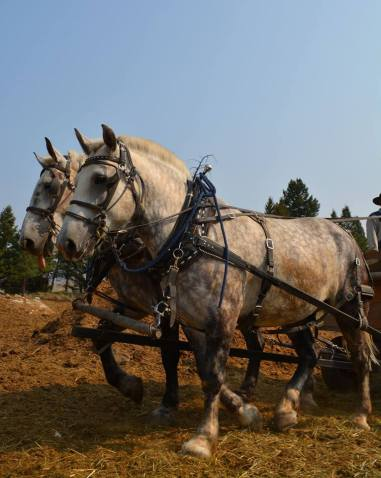 Draft horses by michael